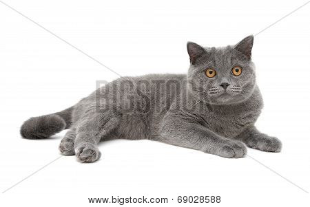 Gray Cat (breed Scottish-straight, Age 8,0 Months) On A White Background