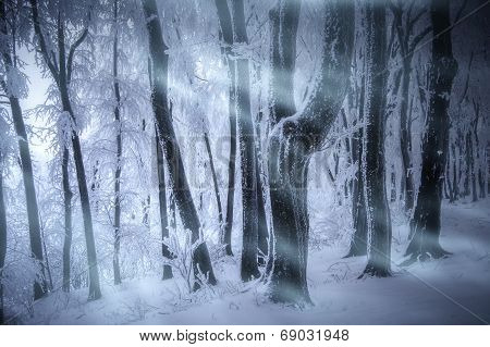Blizzard in forest in winter with wind, frost and snow on trees