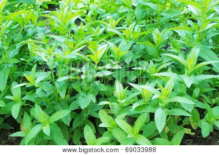 Mint Plants In Garden