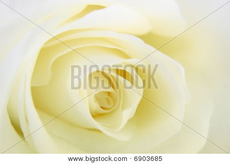 Faded White Rose