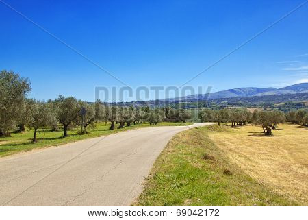 country road through an olive grove in Abruzzo region, Italy