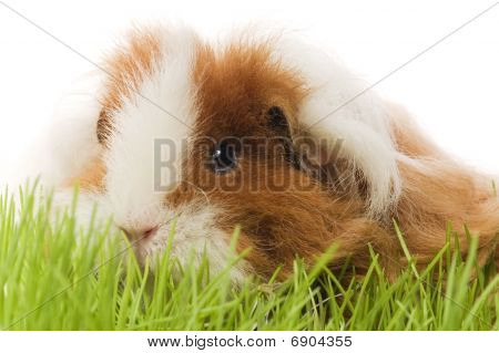 Guinea Pig - Texel