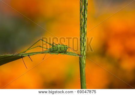 Grasshopper on stalk of a grass