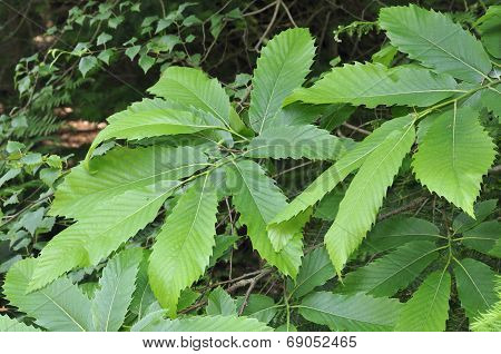 Sweet Chestnut Leaves