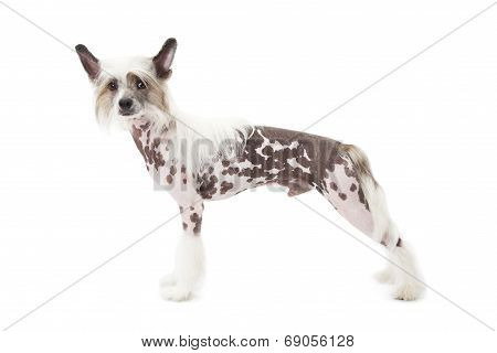 Hairless Chinese Crested Dog In Front Of White Background