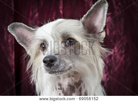 Portrait Of A Hairless Chinese Crested Dog