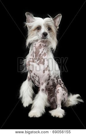 Hairless Chinese Crested Dog Sitting Over Black