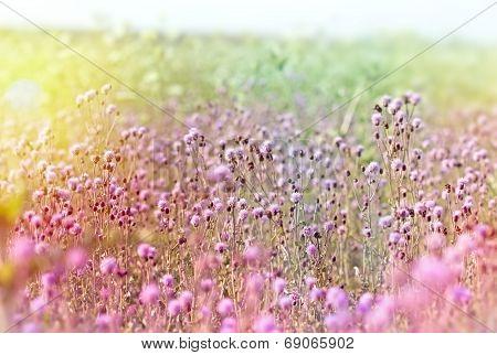 Field of flowering thistle
