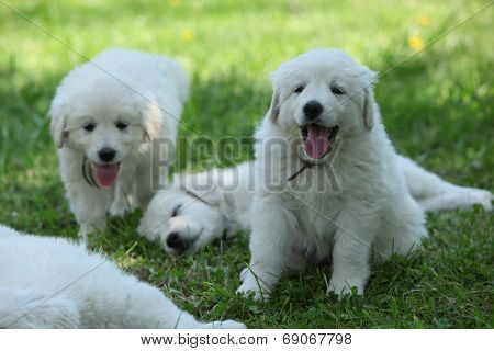 Amazing White Puppies Of Slovakian Chuvach Lying In The Grass