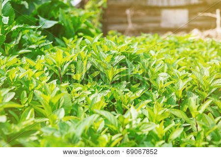 Shrub Of Mint Herb