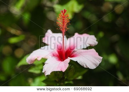 Close Up Of An Hibiscus-flower