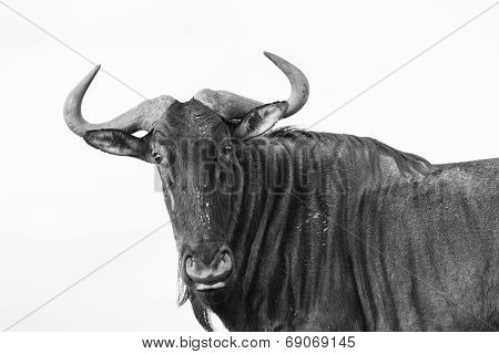 Blue Wildebeest Wildlife