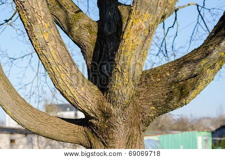 Close Up Of Branched Tree Trunk