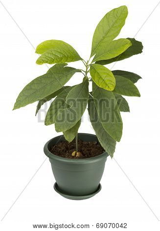 Avocado plant in a pot