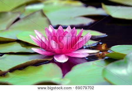 pink water lily with green leaves swimming in a pond