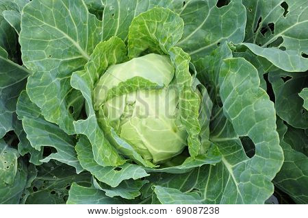 Mellow Cabbage Vegetable
