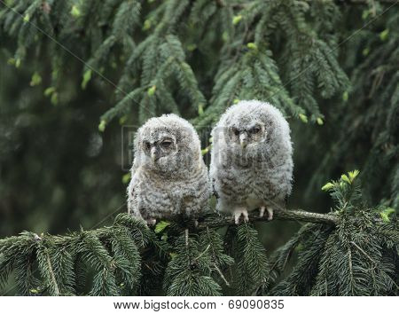 Two Owlets on Branch