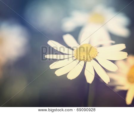Chamomile Flower Close Up