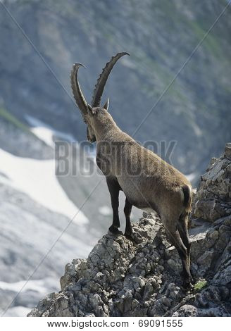Alpine Ibex Looking into Valley