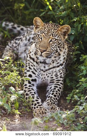 Leopard (Panthera pardus) lying in bushes