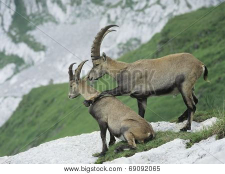 Alpine Ibexes