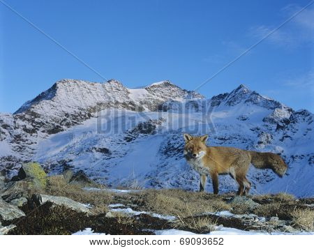 Red Fox in Mountains
