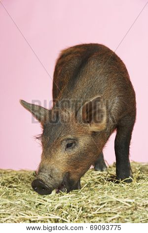 Closeup of a brown pig sniffing food on hay against pink background