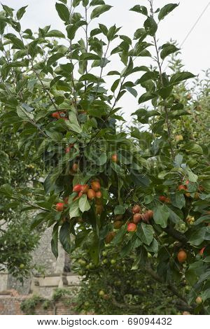 Closeup of a fruit tree against the sky
