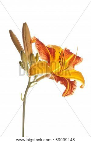 Beautiful Tiger Lily.