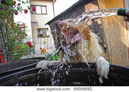 Dog Drinking Water From Garden Hosepipe