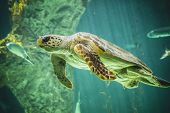 stock photo of aquatic animal  - huge turtle swimming under the sea - JPG