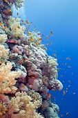 pic of fire coral  - coral reef with hard corals and exotic fishes anthias at the bottom of tropical sea on blue water background - JPG