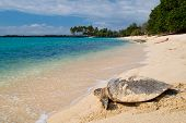 stock photo of sea-turtles  - Sea Turtle on the tropical beach - JPG