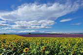 foto of plateau  - Stunning rural landscape with sunflower and lavender field - JPG