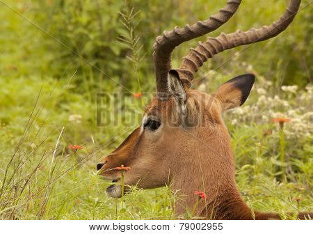 Large South African male Impala