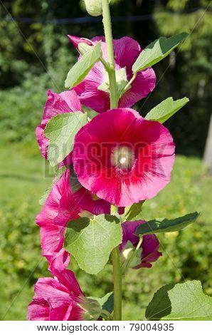 Beautiful Summer Hollyhock Alcea Rosea Flowers In Garden