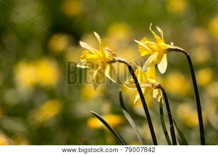 Closeup of 3 flowers among thousands of daffodils blooming wild in the woods on the German Belgian border in the Eifel region