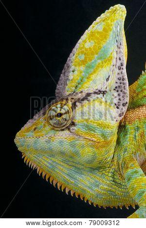 Cone head chameleon / Chamaeleo calyptratus