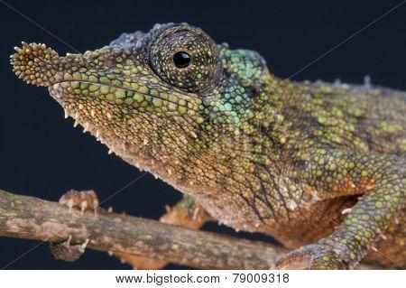 Rosette-nosed pygmy chameleon / Rhampholeon spinosus