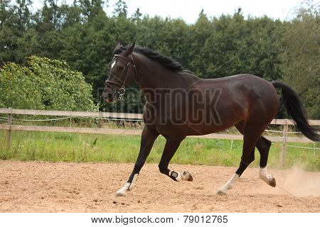 Black Horse Trotting At The Field
