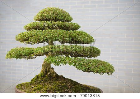 Bonsai Tree In Flower Pot