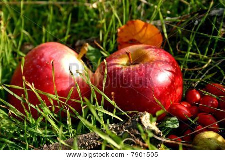 Apples In The Nature