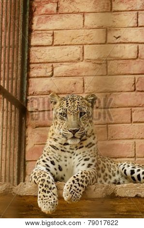 leopard in a zoo