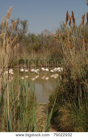 Flamingos framed by Reeds