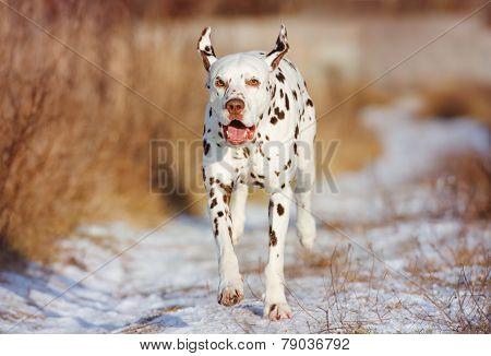 beautiful dalmatian dog outdoors