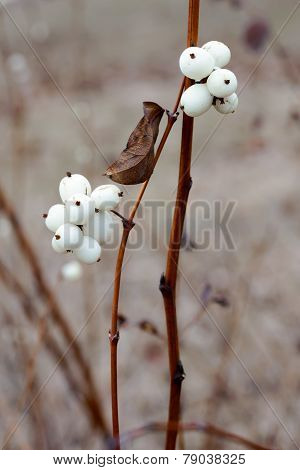 Snowberry Fruit In Winter