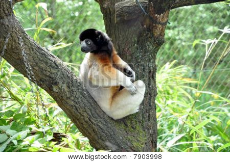 Sifaka Lemur Looking Around His Back