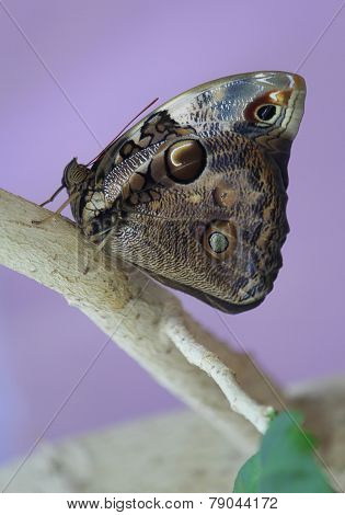 Butterfly Morpho Peleus on a branch
