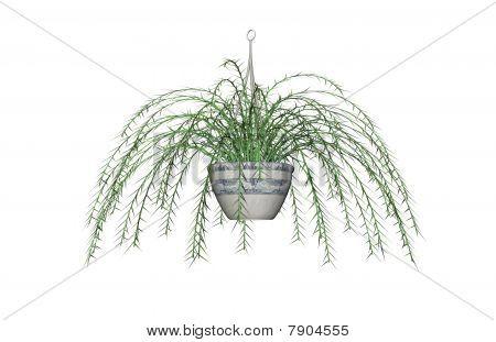 Asparagus Fern, Hanging Plant