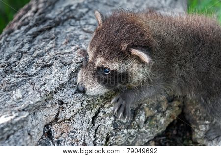 Baby Raccoon (procyon Lotor) Clings To Side Of Log